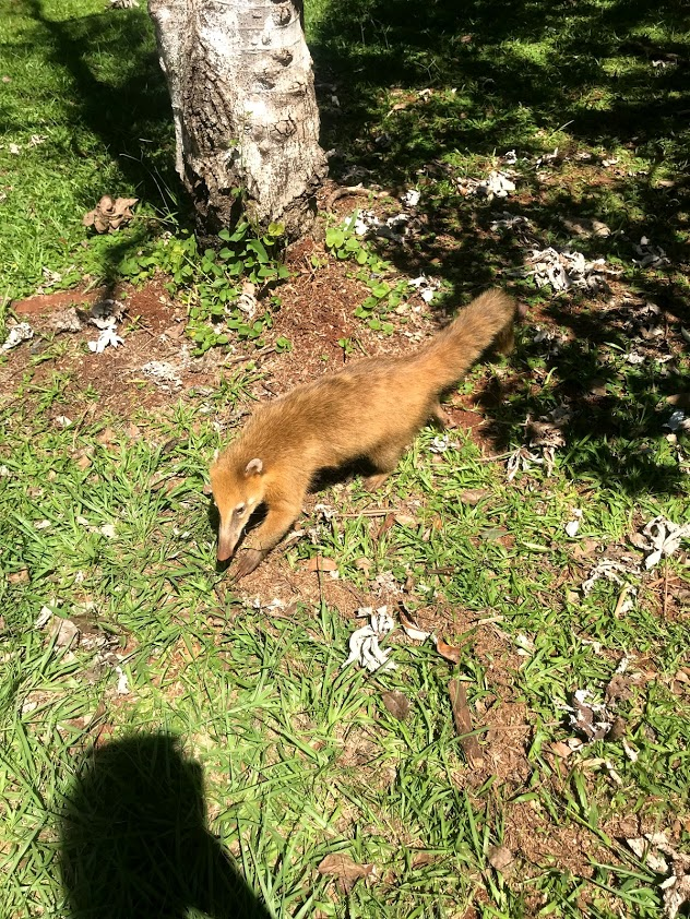 Coatis at Iguazu Falls Argentina